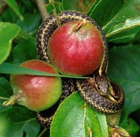 Snake_apples