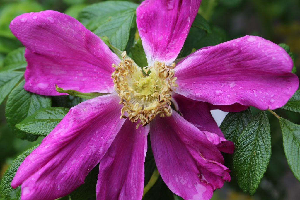 Rose, herbal medicine, rugosa rose, rose oil, rose honey, rose vinegar, rose tincture