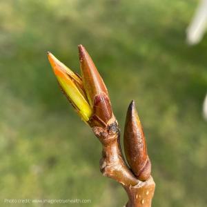 poplar buds, herbal medicine, wildcrafting, herbal oils, herbal tinctures