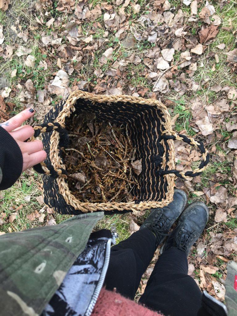Poplar bud harvest, wildcrafting, herbal oils, herbal medicine