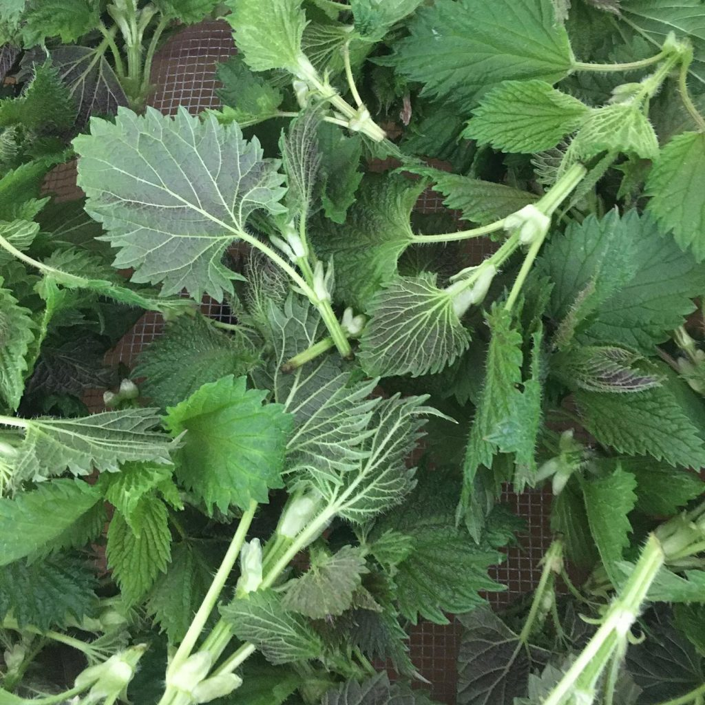 Nettles, wildcrafting, dried herbs, herbal medicine