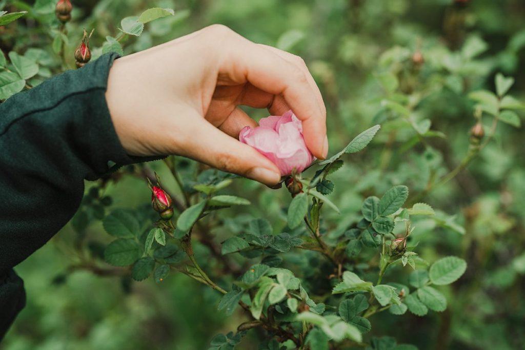 Rose Medicine, Herbal Medicine Online, Plant medicine