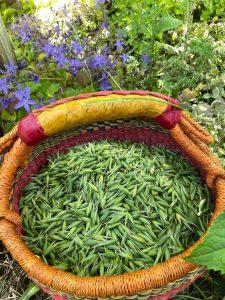 milky oats, herbal medicine, growing herbs, herbal tinctures, herbalism