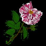 Galica rose