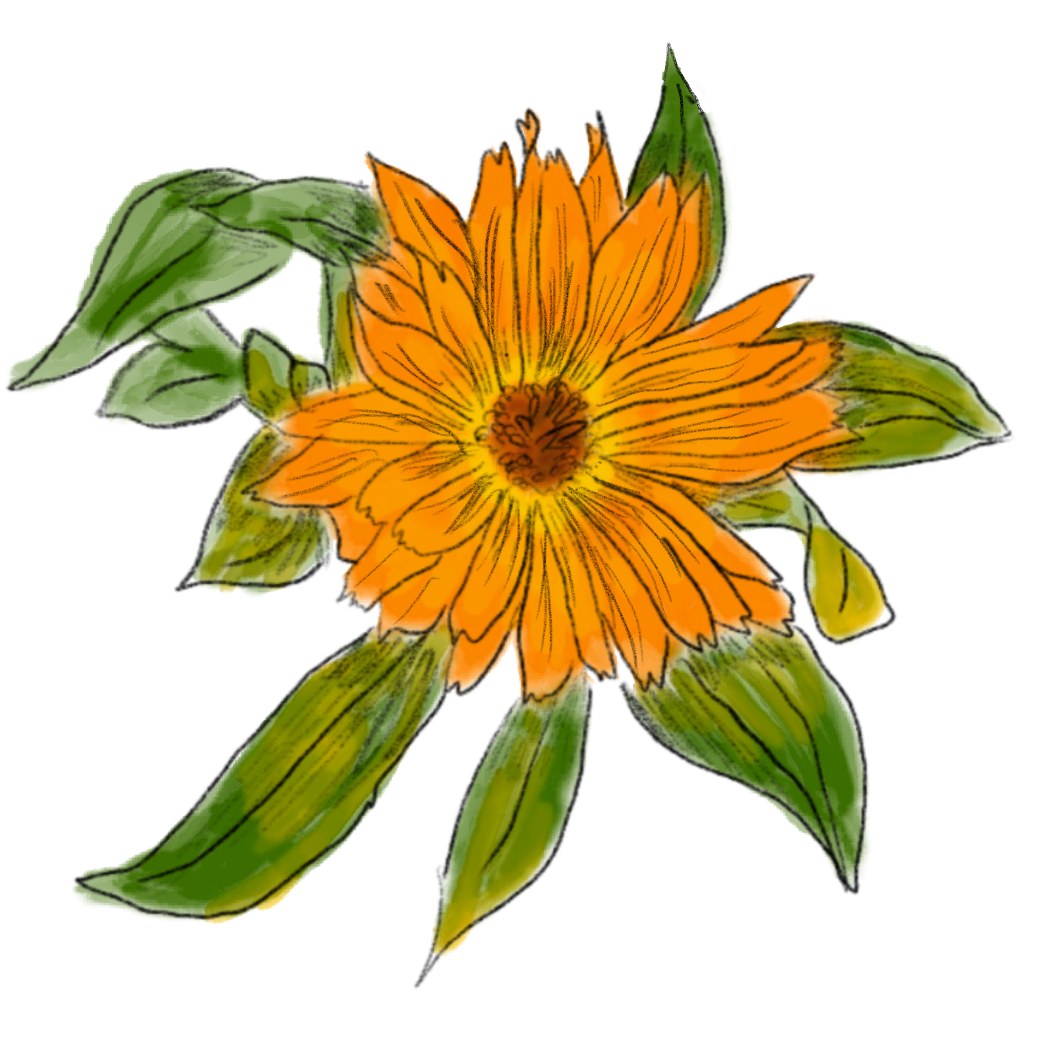 Calendula, herbal medicine online, learn herbal medicine, Mentorship Circle