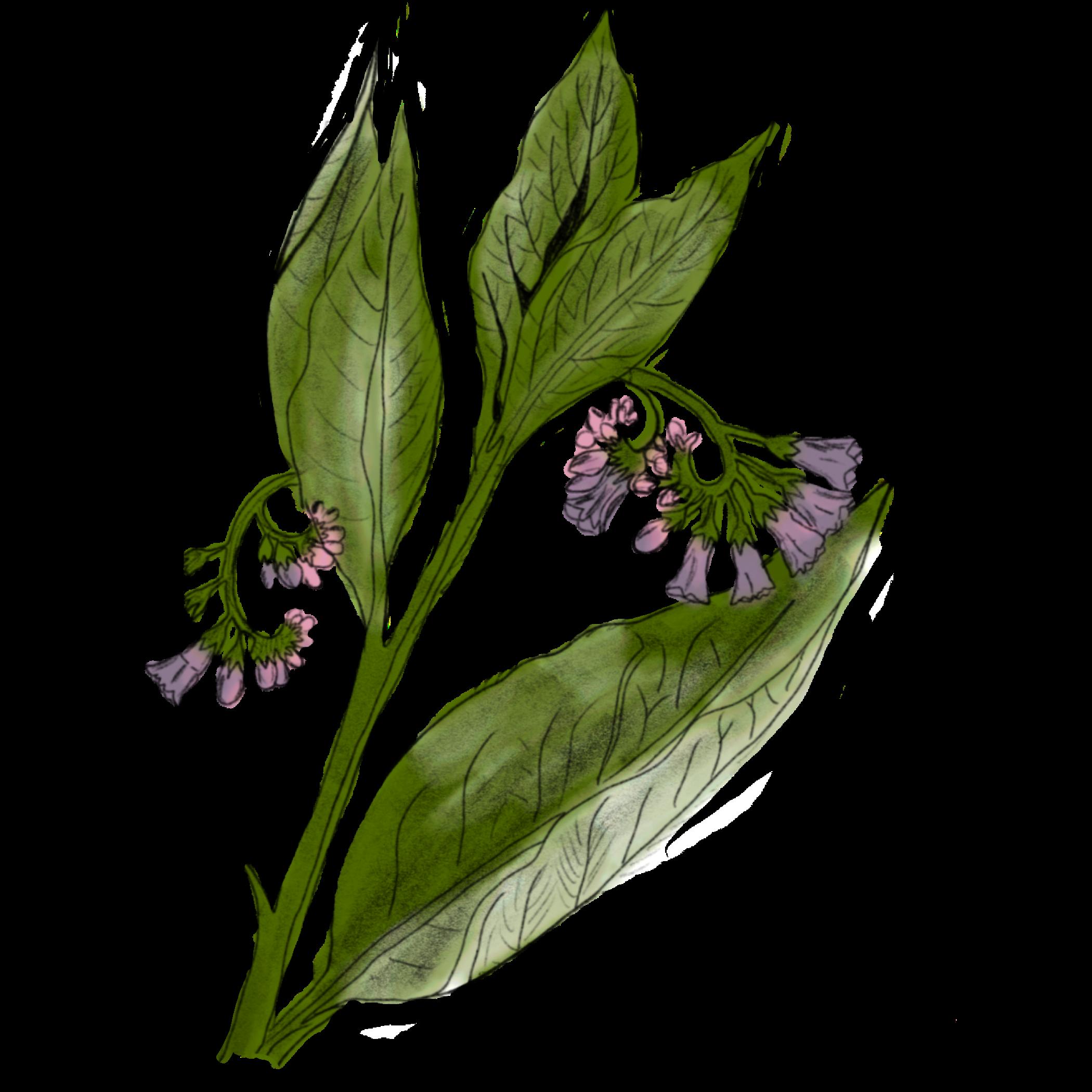 Comfrey, herbal medicine online, learn herbal medicine, Mentorship Circle